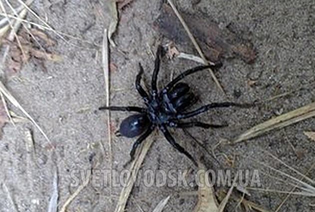 В Украину перебрался ядовитый австралийский паук (ФОТО)