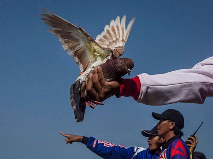В Индонезии «гоночного» голубя продали за 100 тысяч долларов