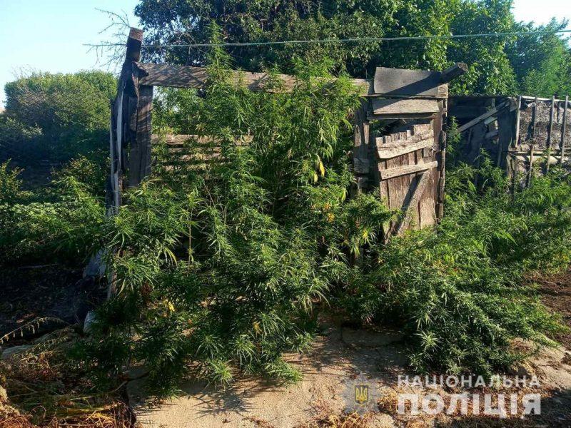 В Новоодесском районе полиция изъяла свыше 160 кустов конопли – хозяин говорит, что выращивал для себя (ФОТО)