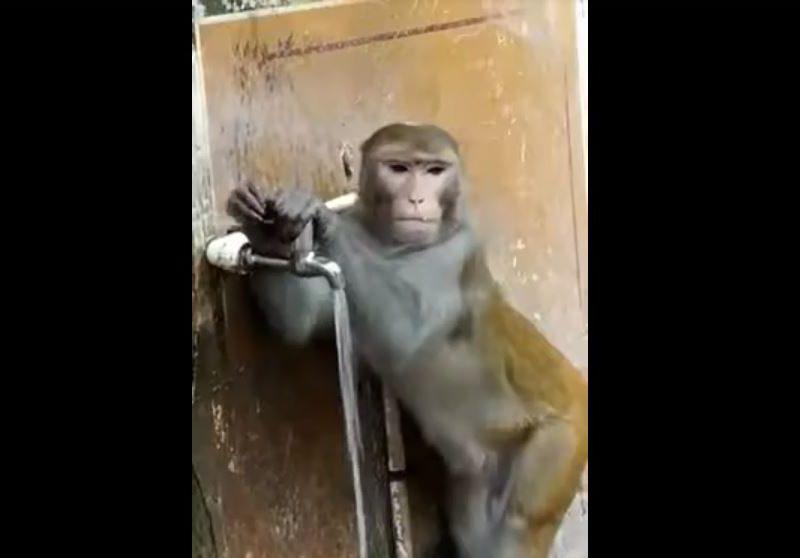 Закрывай кран – экономь воду, как эта обезьяна. Даже бесплатную (ВИДЕО)