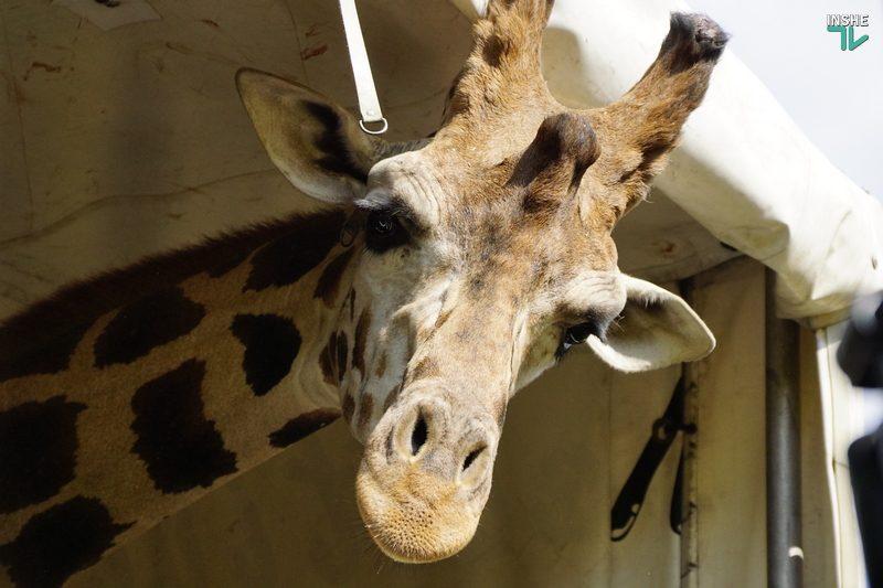 Полюбоваться жирафами Николаевского зоопарка теперь можно в онлайн-трансляции (ВИДЕО)