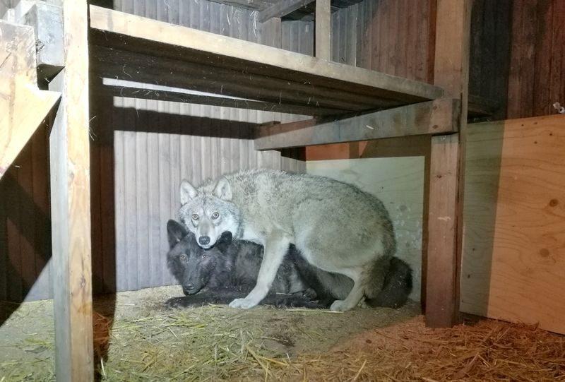Чтобы разводить волкособов, жительница Финляндии незаконно ввозила из России волков