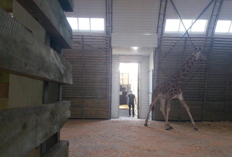 В Николаевский зоопарк приехал второй жираф – Логан (ФОТО, ВИДЕО, ОБНОВЛЕНО)