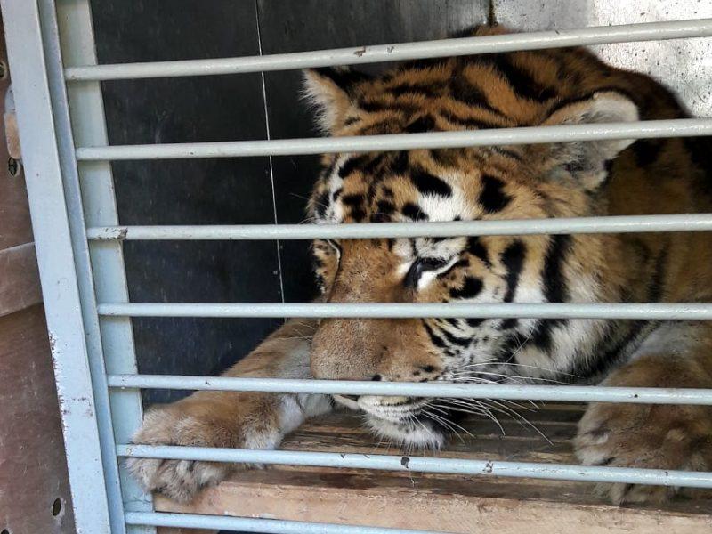 Амурский тигренок из Николаевского зоопарка переехал в Одессу (ФОТО)