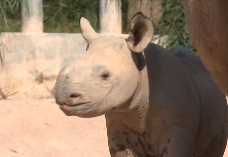 Маленького черного носорога показали в китайском зооцентре (ВИДЕО)