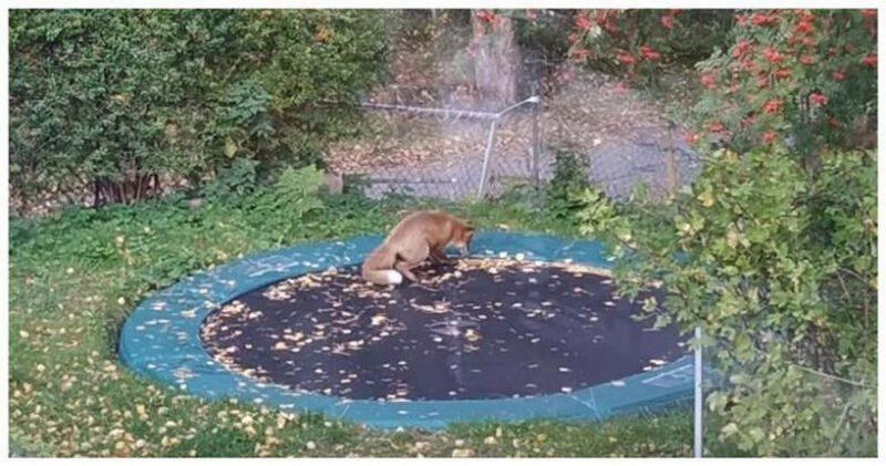 Рыжая батутистка: игры шведской лисы восхитили сеть
