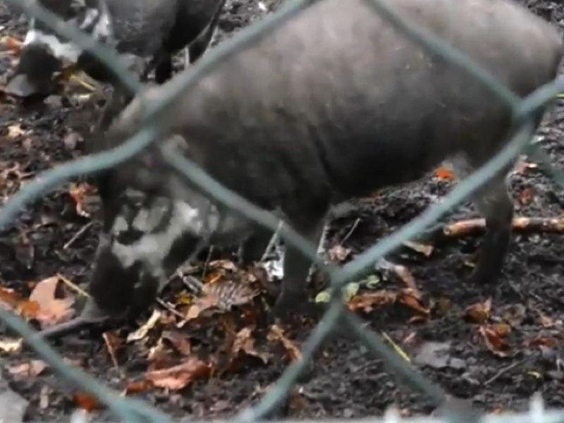 Идут следами человека: свиньи используют орудия труда (ВИДЕО)