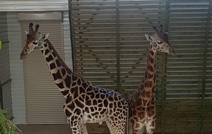 А они разные: в Николаевском зоопарке познакомили новых постояльцев – жирафов Ротшильда (ФОТО)