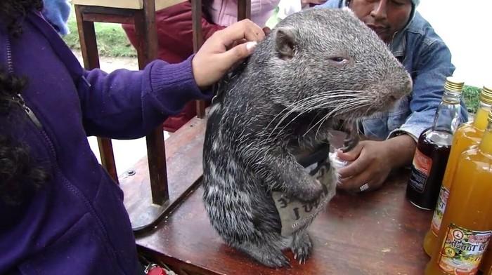 Гигантская крыса весом 15 кг – это не мутант из подземелий метро, а обаятельная пакарана (ВИДЕО)