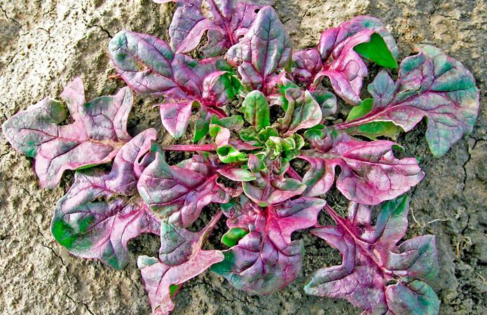 Ученые вывели первый в мире сорт красного шпината