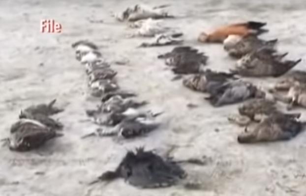Тысячи мертвых птиц усеяли побережье индийского озера (ВИДЕО)