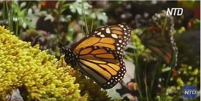 В Мексику устремились миллионы бабочек-монархов (ВИДЕО)