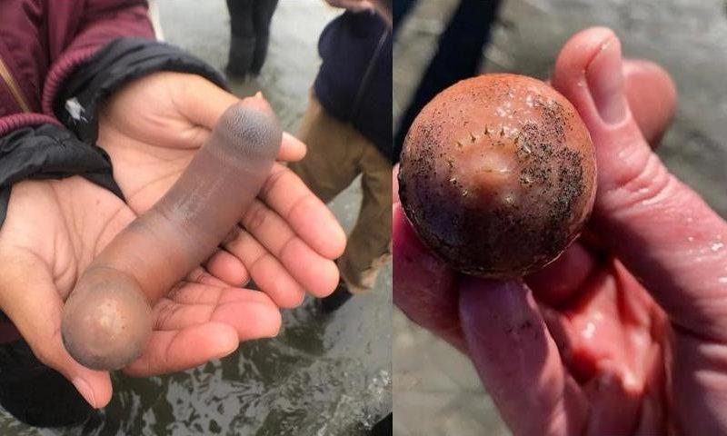 Побережье Калифорнии усеяно рыбами-пенисами (ФОТО)