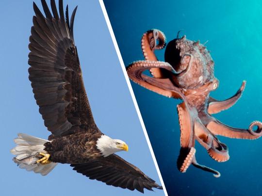 Щупальца против когтей: рыбаки сняли  видео схватки орлана и осьминога