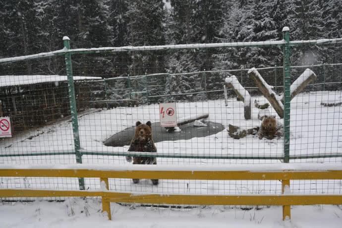 Теплая зима не дает медведям в Карпатах уснуть