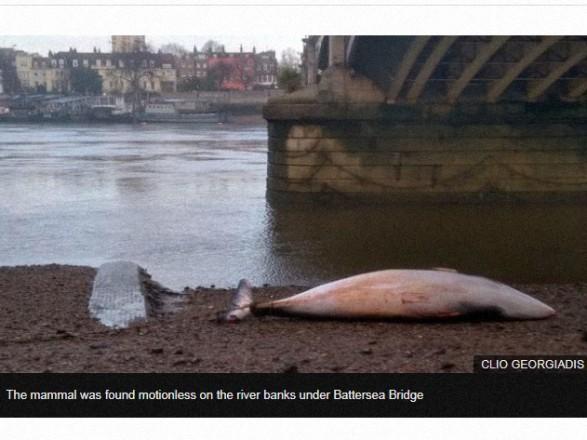Под мостом в Лондоне выбросило кита