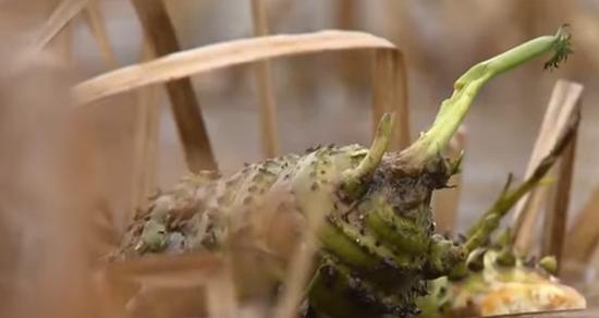 Погибший девятилетний мальчик под Черниговом  съел найденный с друзьями корень цикуты (ВИДЕО)
