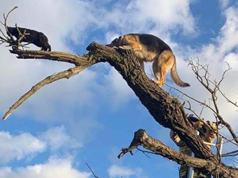 Овчарки очень даже лазают по деревьям, если за кошками. Но вот спуститься самостоятельно не могут (ФОТО)
