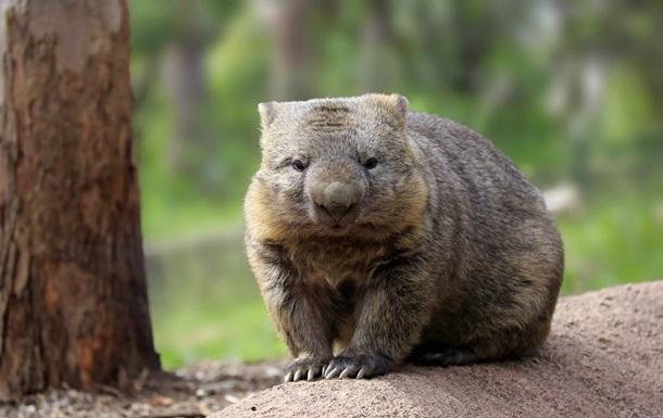 В Австралии во время пожаров вомбаты пускали других животных в свои норы, чем спасали жизни, – экологи