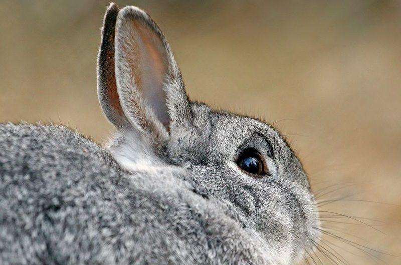 В столице Финляндии переживают – растет число живущих в городе диких кроликов