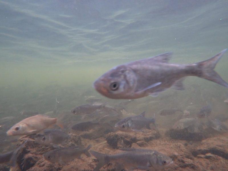 В Южном Буге рыбы будет больше – «НИБУЛОН» выпустил возле филиала в Новой Одессе 40 тыс. мальков толстолоба (ФОТО, ВИДЕО)