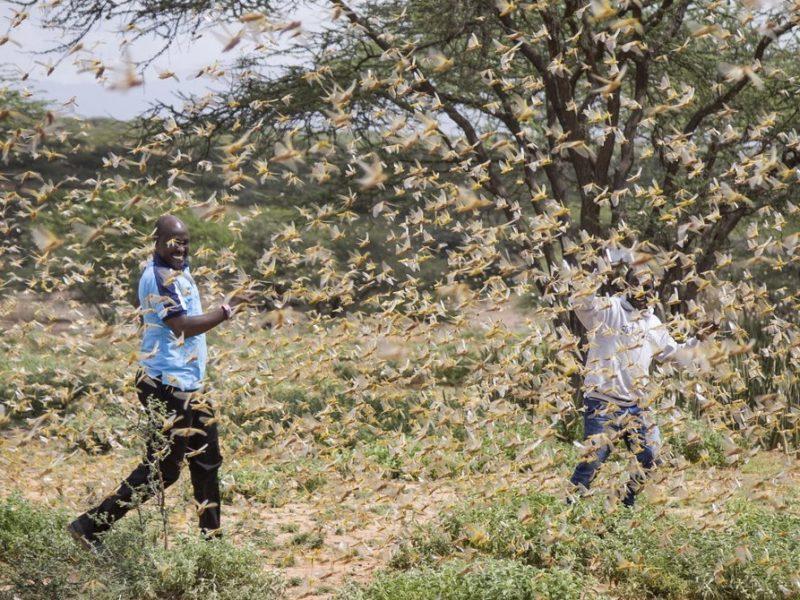 Крупнейшее за 25 лет нашествие саранчи атакует Африку (ФОТО, ВИДЕО)