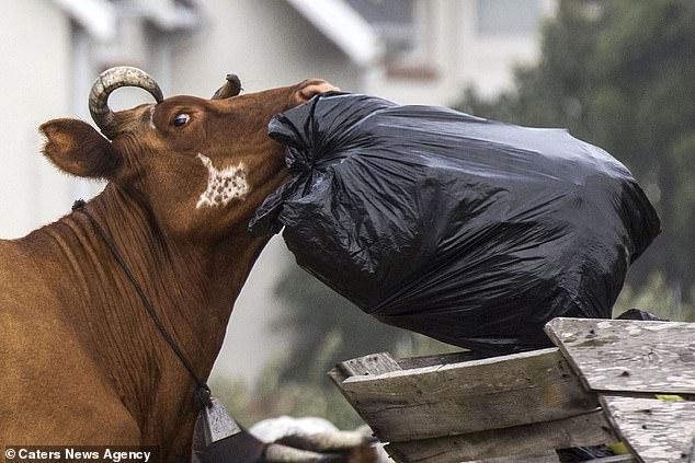 Банда вырвавшихся из стойла коров бушевала в южноафриканской деревне (ФОТО)