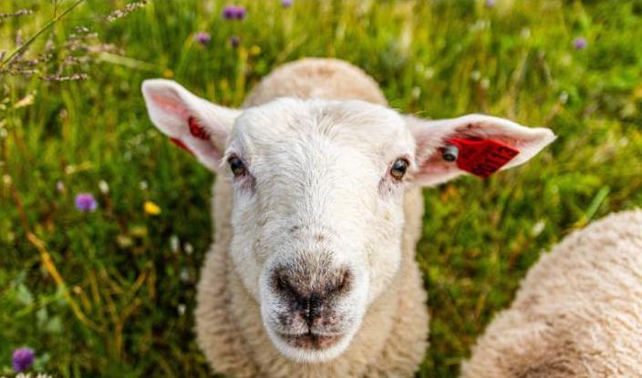 Для стрижки газонов в бывшем дворце нидерландских монархов наняли две отары овец