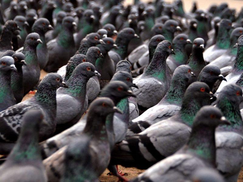 В Бельгии продали голубя за €1,6 млн.