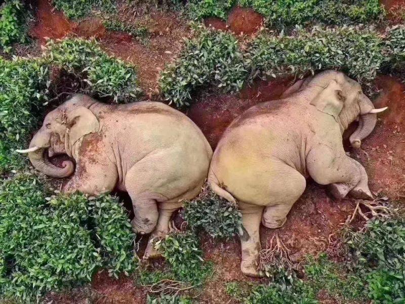 В Китае дикие слоны искали в деревне еду, а нашли запасы вина (ФОТО)