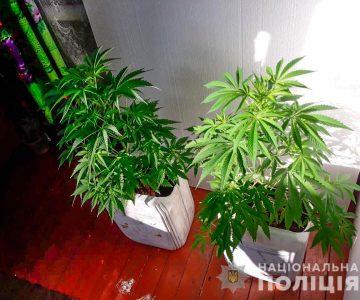 Фото конопли на подоконнике раздача семян конопли