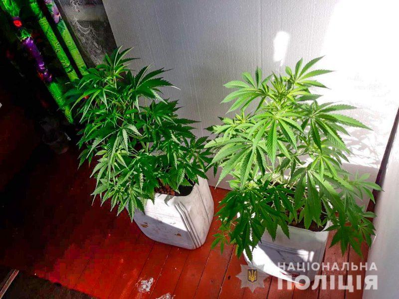 Конопля на подоконнике: на Николаевщине разоблачили горе-агронома (ФОТО)