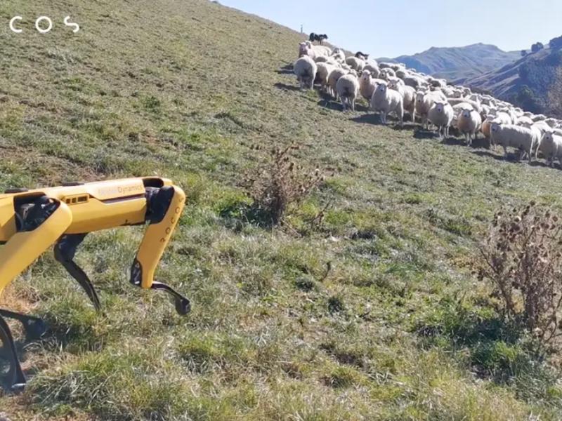 Робот-пес учится пасти овец в Новой Зеландии (ФОТО, ВИДЕО)