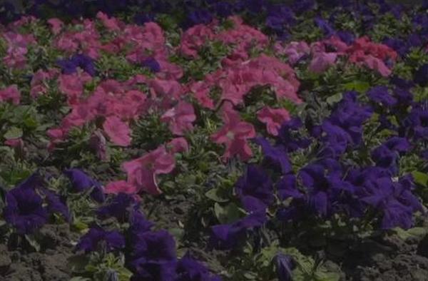 В Николаеве цветы высадили на 45 клумбах (ВИДЕО)