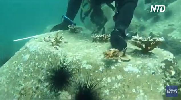 Дайверы высаживают кораллы у побережья ОАЭ (ВИДЕО)
