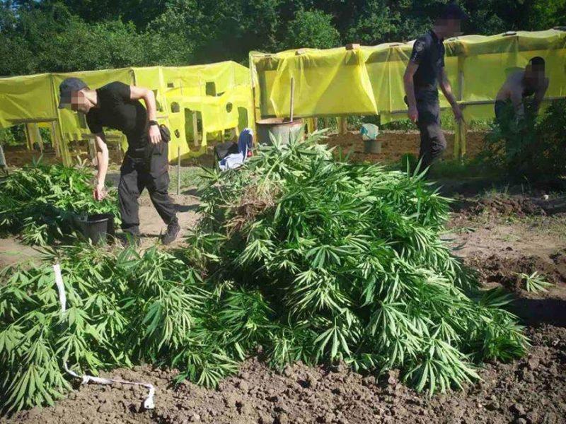 На Николаевщине полиция пресекла деятельность «наркоагрария», вырастившего 600 кустов сортовой конопли (ФОТО, ВИДЕО)