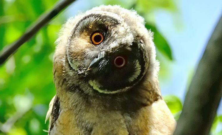 В Николаеве возле Центрального стадиона сфотографировали выводок ушастой совы (ФОТО)