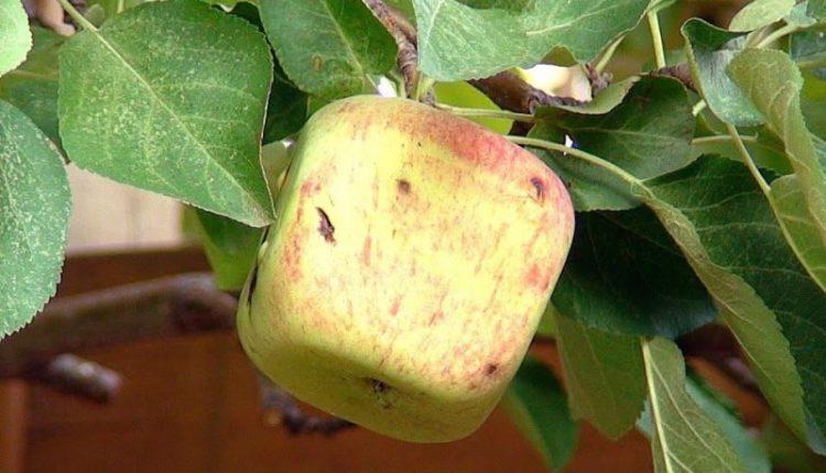 Квадратные яблоки – новый мировой тренд (ФОТО)