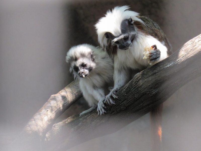 Когда в декретном отпуске – только папа: в Николаевском зоопарке впервые успешно размножились эдиповы тамарины (ФОТО)