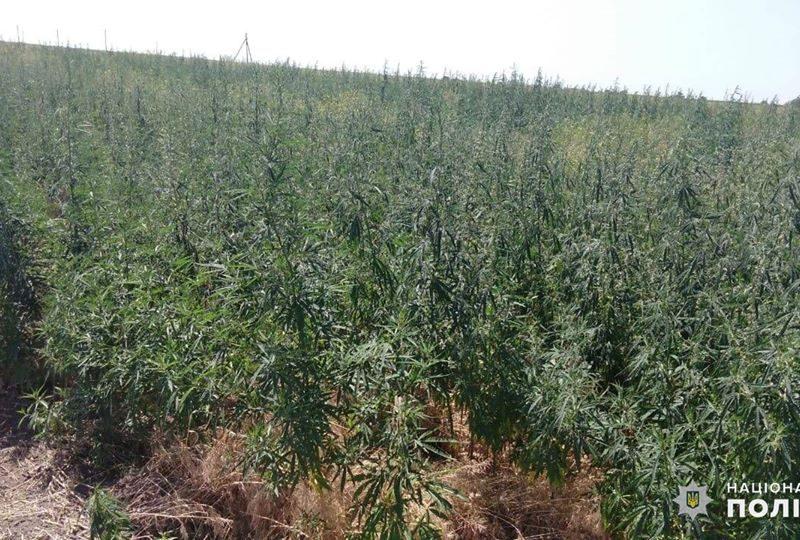 На Николаевщине обнаружили целую плантацию конопли – росла на поле среди ячменя (ФОТО)
