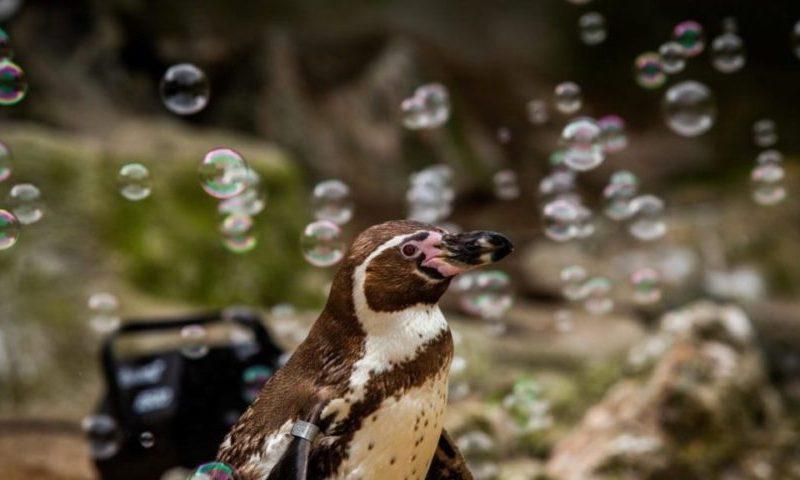 Пингвинам в британском зоопарке установили генератор мыльных пузырей, чтобы они не скучали (ВИДЕО)
