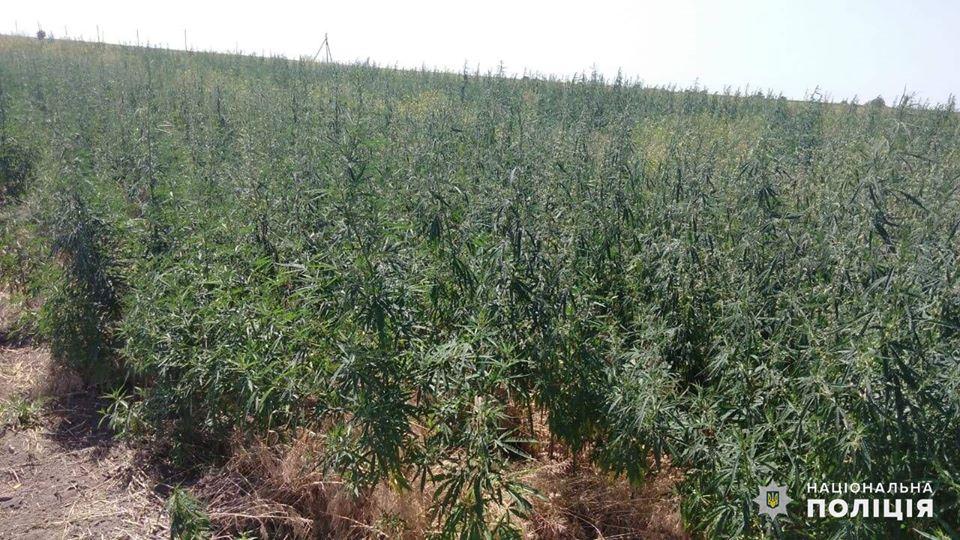 На Николаевщине обнаружили целую плантацию конопли - росла на поле среди ячменя (ФОТО) 1