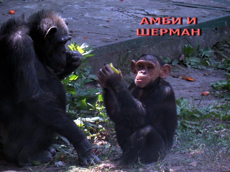Чтобы День взятия Бастилии прошел не зря: в Николаевском зоопарке можно отметить Всемирный день шимпанзе (ФОТО)