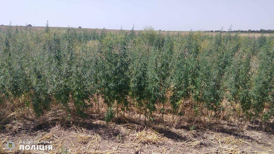 На Николаевщине обнаружили целую плантацию конопли - росла на поле среди ячменя (ФОТО) 3