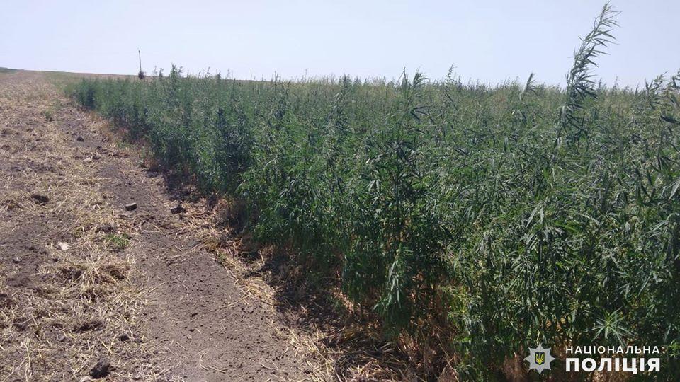 На Николаевщине обнаружили целую плантацию конопли - росла на поле среди ячменя (ФОТО) 5