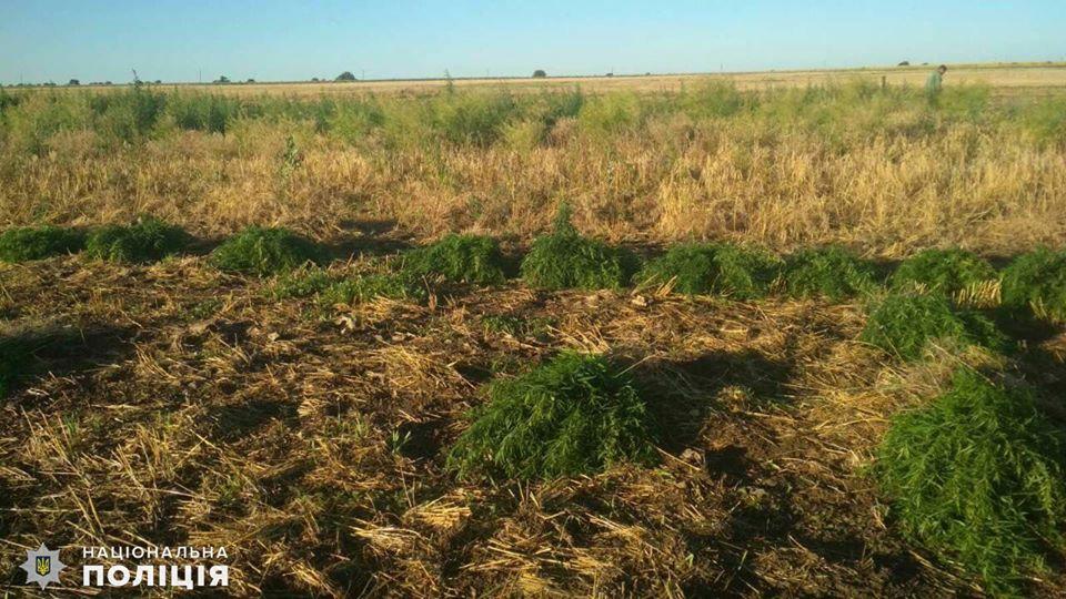 На Николаевщине обнаружили целую плантацию конопли - росла на поле среди ячменя (ФОТО) 7