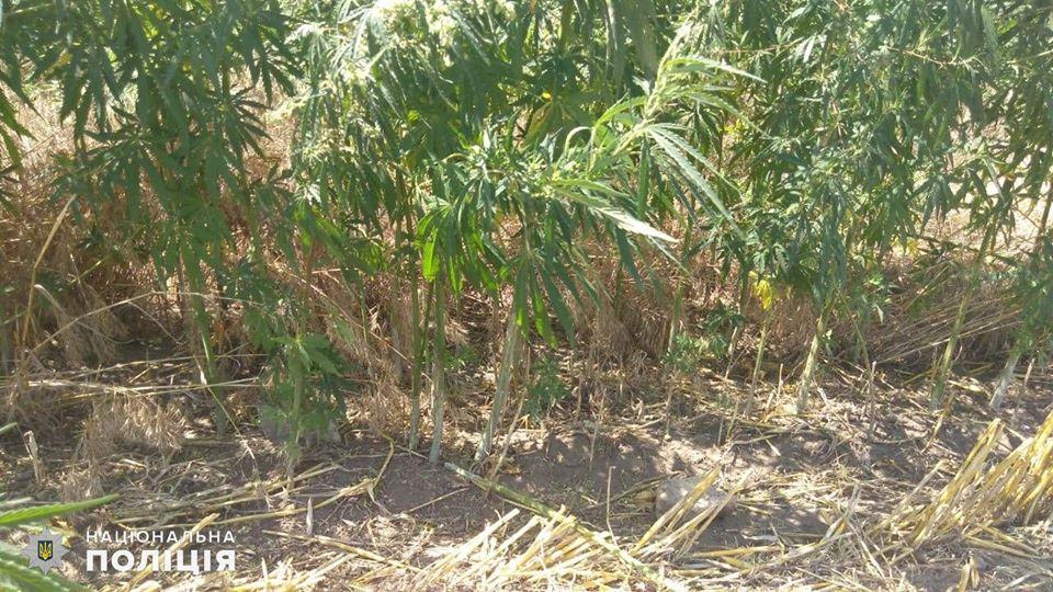На Николаевщине обнаружили целую плантацию конопли - росла на поле среди ячменя (ФОТО) 9