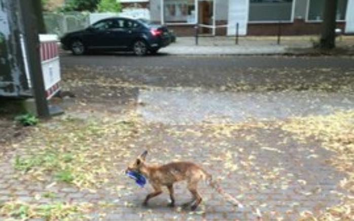 Лиса обворовывала целый район Берлина, в ее запасах нашли сотни кроссовок и ботинок (ФОТО)