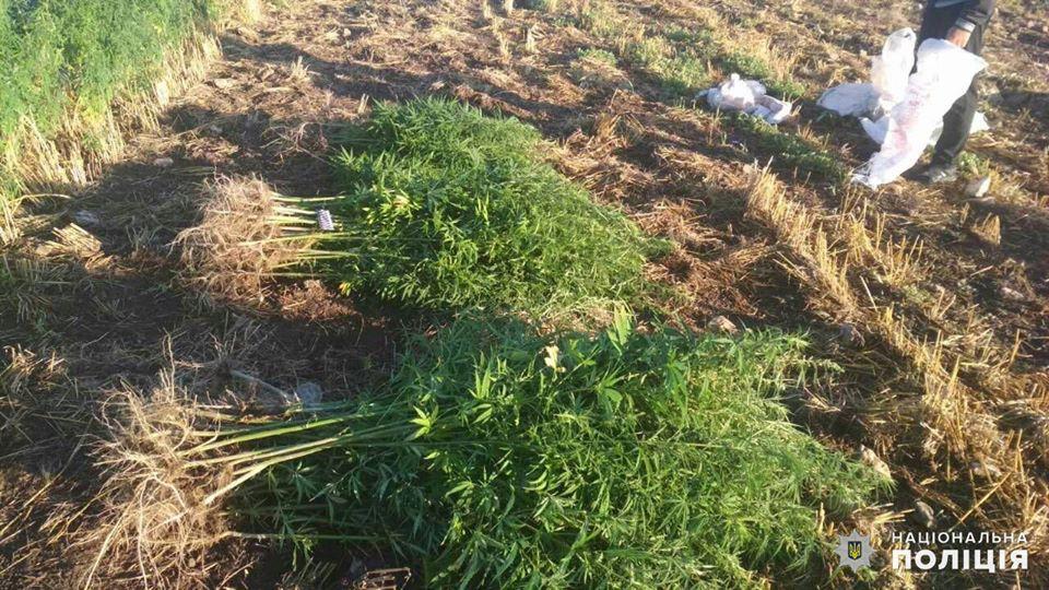 На Николаевщине обнаружили целую плантацию конопли - росла на поле среди ячменя (ФОТО) 11