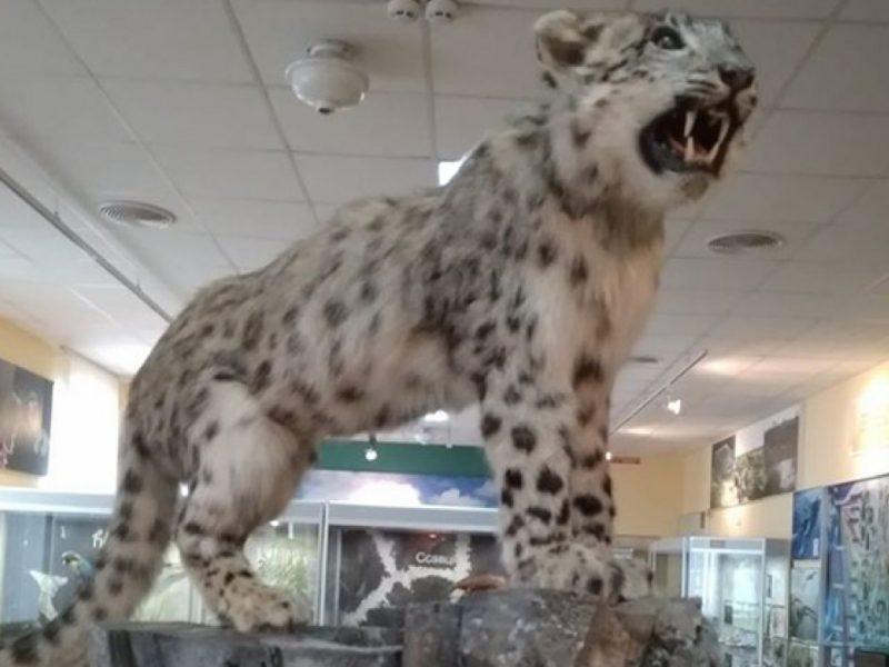 В Николаевском музее выставили чучело снежного барса, которого  отравили в местном зоопарке